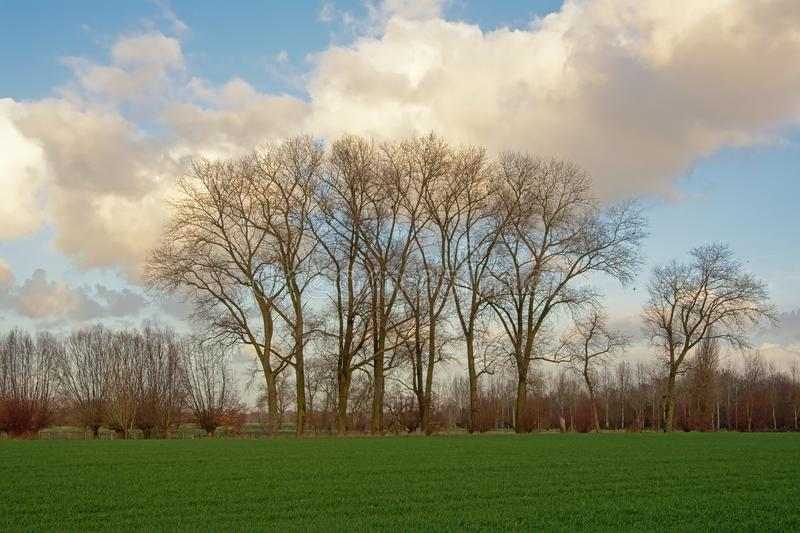 Landscape with Green meadow with acert trees and pollarded willows in Flanders stock photo