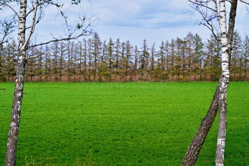 Green meadow and fir trees in the background against the sky in an abstract frame royalty free stock images