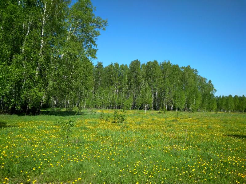 Green meadow forest meadow summer sun succulent green emerald grass heat scenic view of the dense vegetation clear of fresh air. Yellow flowers dandelions royalty free stock photography