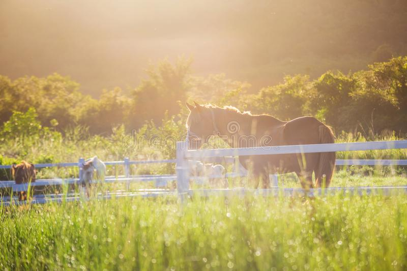 Green meadow and Grasses with morning dew at foreground and horses in stable as background. With gold sunlight stock photos