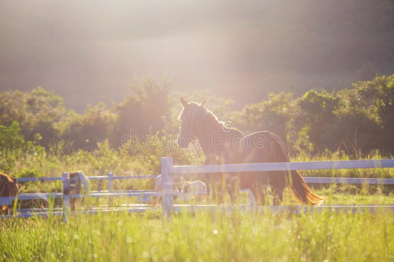 Green meadow and Grasses with morning dew at foreground and horses in stable as background with gold sunlight. Hose in field royalty free stock photography