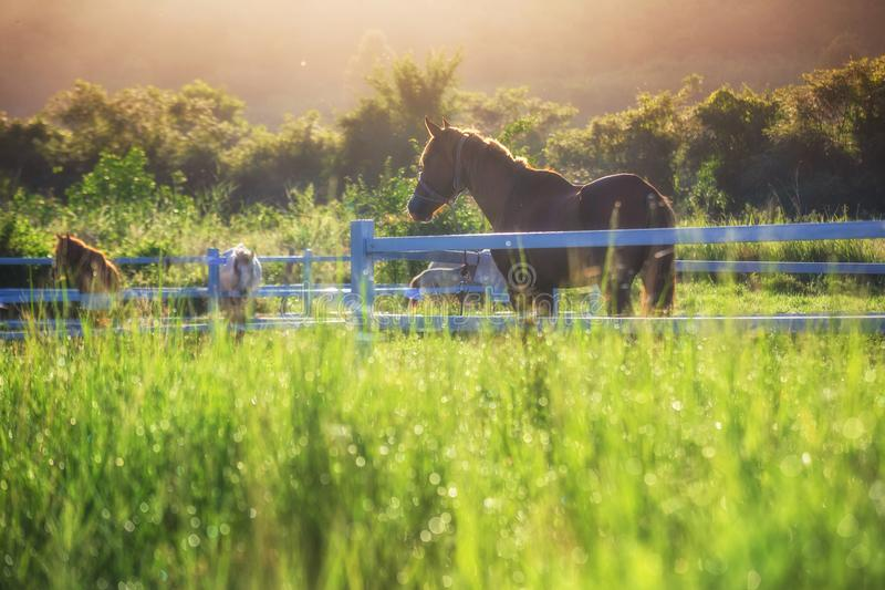 Green meadow and Grasses with morning dew at foreground and horses in stable as background with gold sunlight. Hose in field stock photos