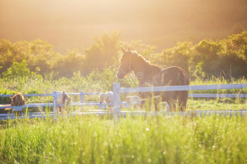 Green meadow and Grasses with morning dew at foreground and horses in stable as background with gold sunlight. Hose in field royalty free stock image