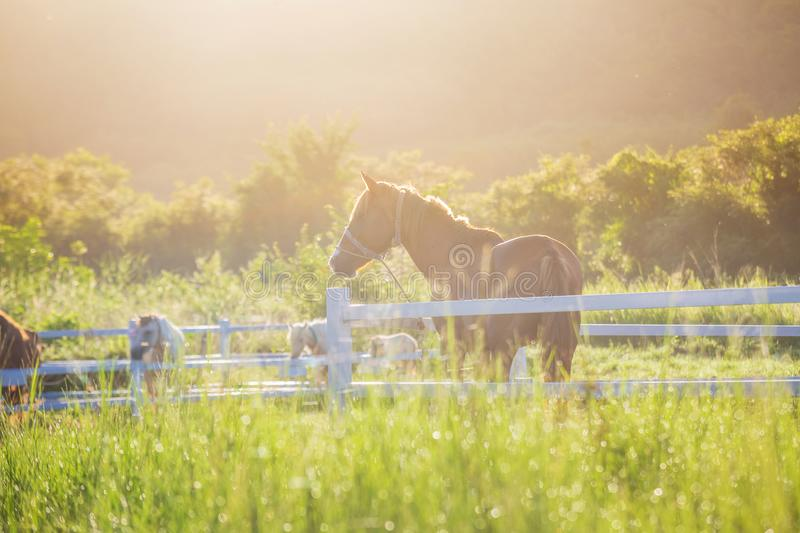 Green meadow and Grasses with morning dew at foreground and horses in stable as background with gold sunlight. Hose in field royalty free stock photos