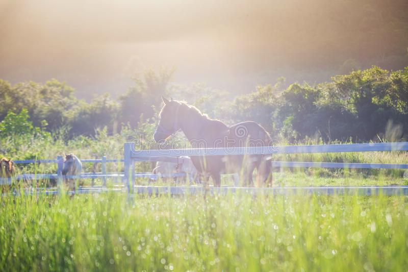 Green meadow and Grasses with morning dew at foreground and horses in stable as background with gold sunlight. Hose in field stock images
