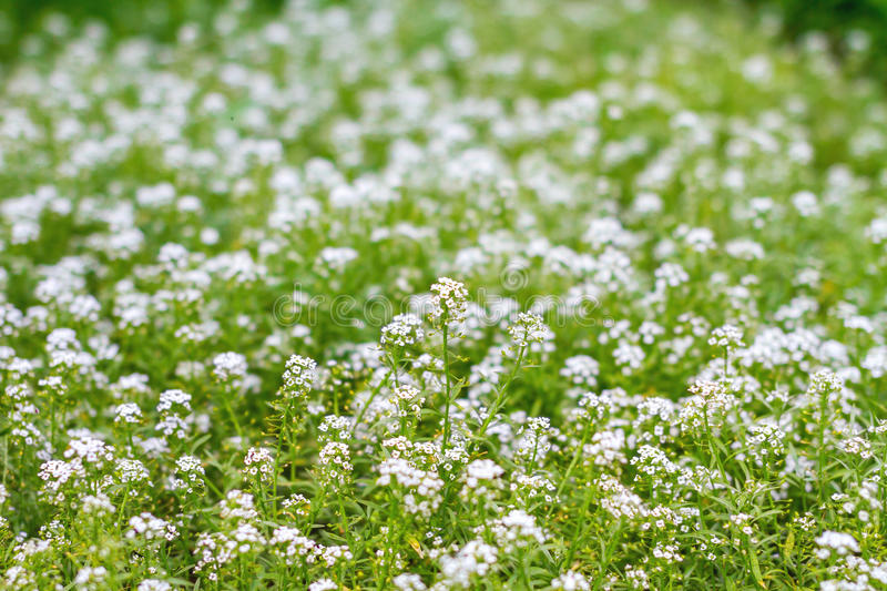 A Green Meadow With Little White Flowers Stock Photo