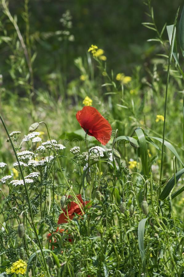 Green meadow with several blooming wildflowers royalty free stock photos