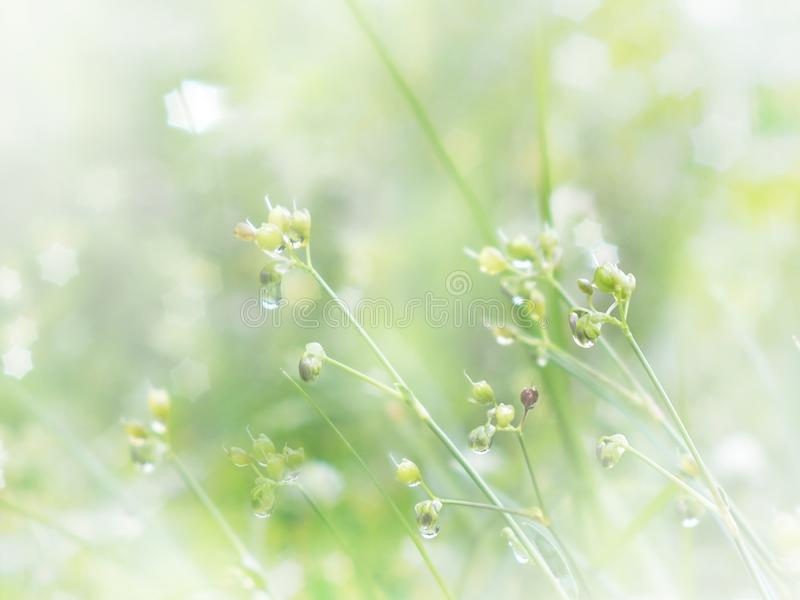 Wild flower and grass with water drop in the morning. Spring and royalty free stock images