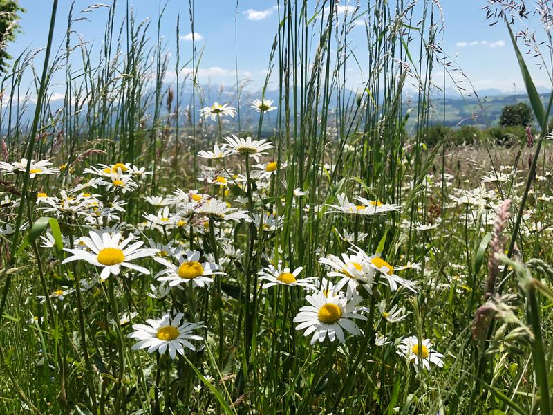 Green meadow in summer with blooming flower with snowy mountain royalty free stock photo