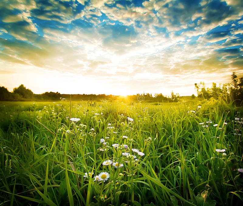Green meadow with white daisies royalty free stock photography