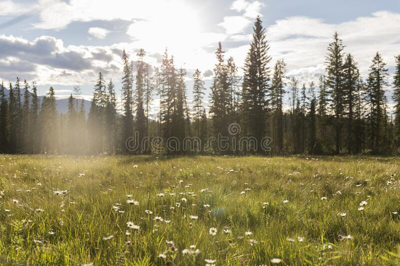 Green meadows. Meadows with green grass and flowers on a sunny day, in the distance you can see the trees and mountains stock photography
