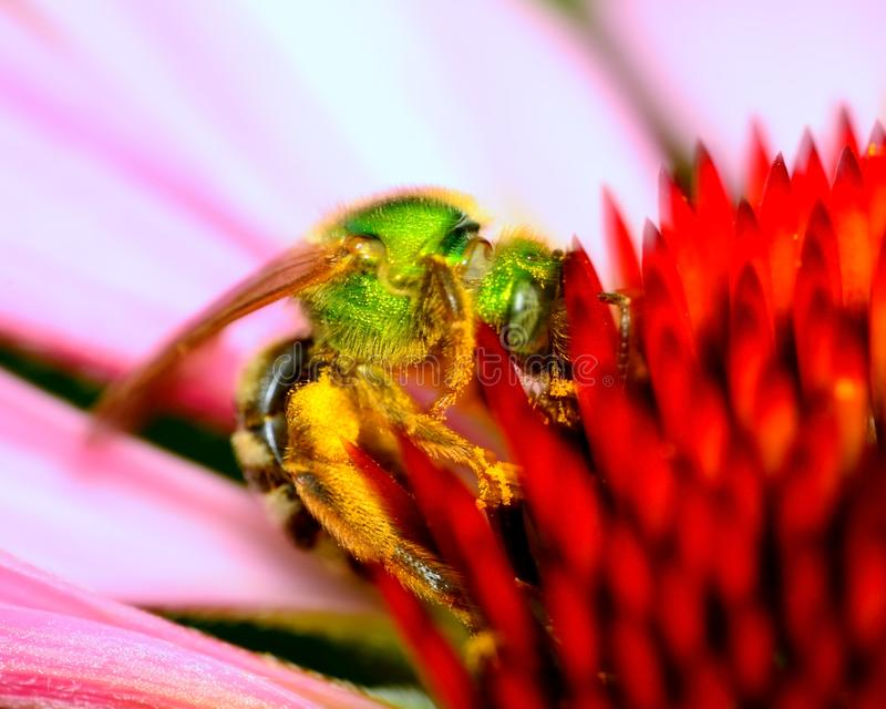 Green Metallic Bee. Perched on a flower collecting pollen royalty free stock image