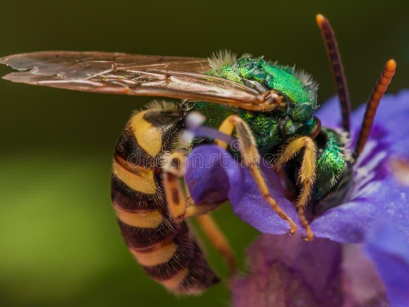 Green metallic sweat bee dives headfirst into purple flower for. Green metallic sweat bee dives head-first into purple flower for pollen stock photo