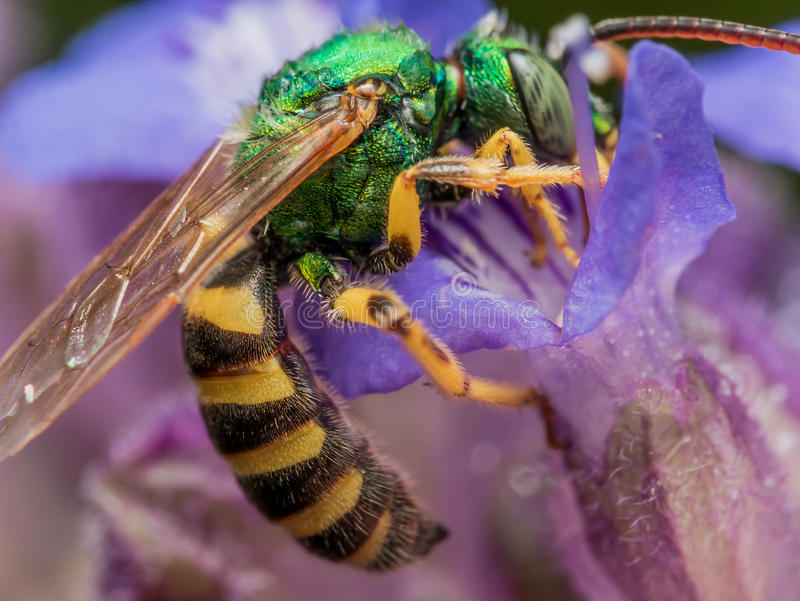 Green metallic sweat bee dives headfirst into purple flower for. Pollen shows green/black/yellow bee in detail stock image