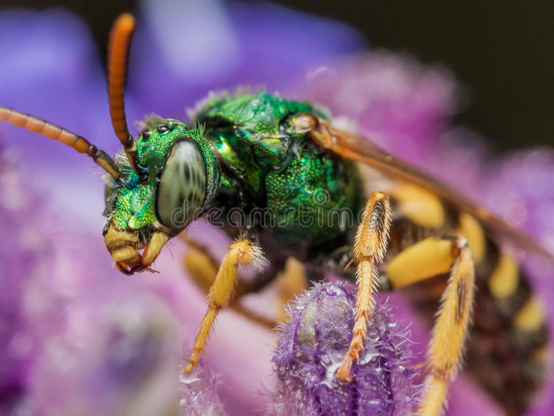Green Metallic Sweat Bee on Purple flower. With purple and black background stock image