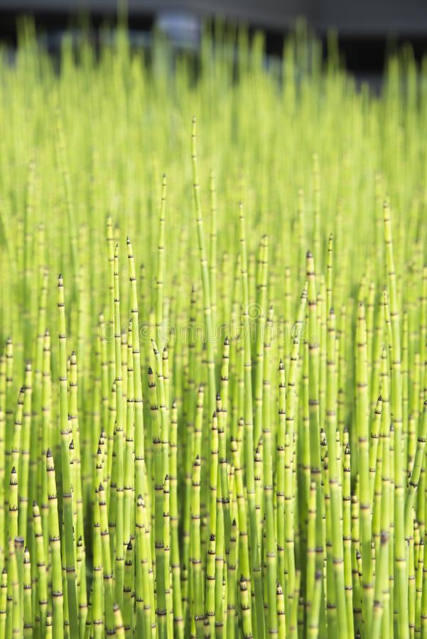 Green - mini moso Bamboo bonsai bamboo bonsai garden plant. Mini moso Bamboo bonsai bamboo bonsai garden plant stock photos