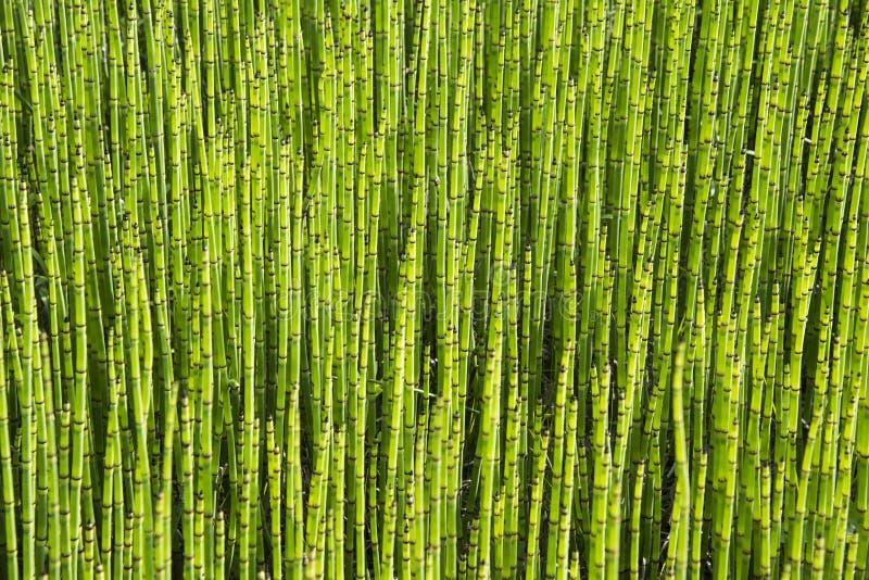 Green - mini moso Bamboo bonsai garden plant. Up close view of mini moso Bamboo bonsai garden plant royalty free stock photo