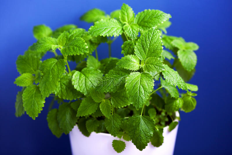 Green Mint on blue background stock photo