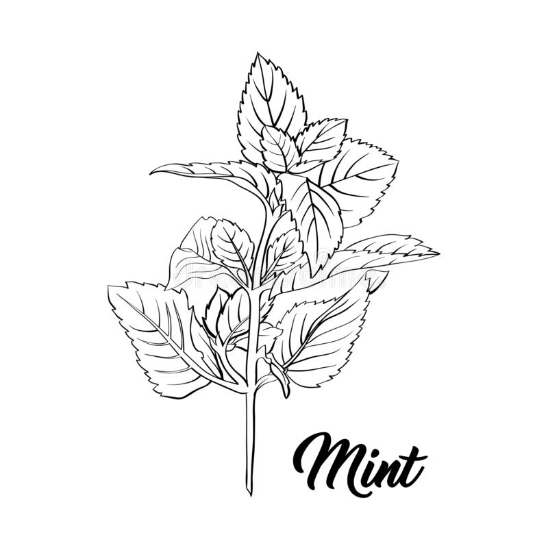 Free Green Mint Branch. Tea Herb Theme. Isolated Engraving Illustration Of Peppermint Or Spearmint Botany Plant. Stock Photos - 145949903