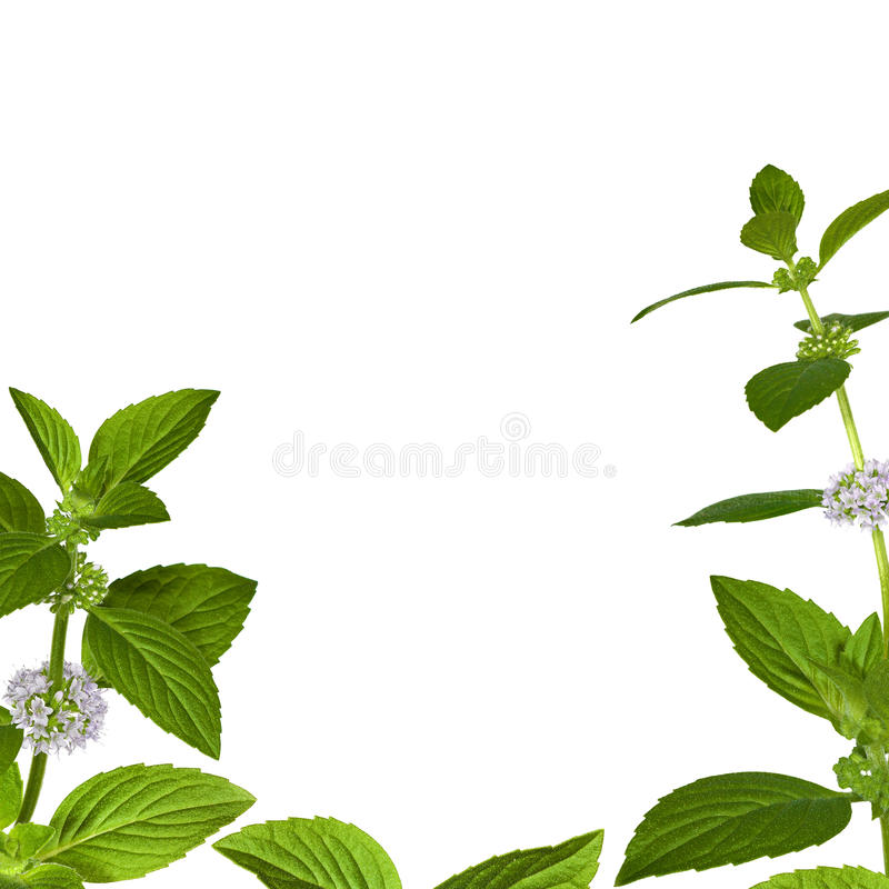 Download Green Mint Leaves Frame On White Royalty Free Stock Photography - Image: 18051557