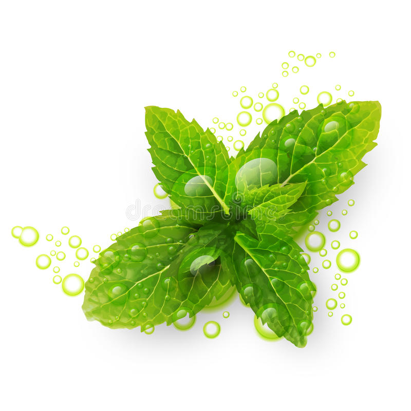 Green mint leaves with water drops vector illustration
