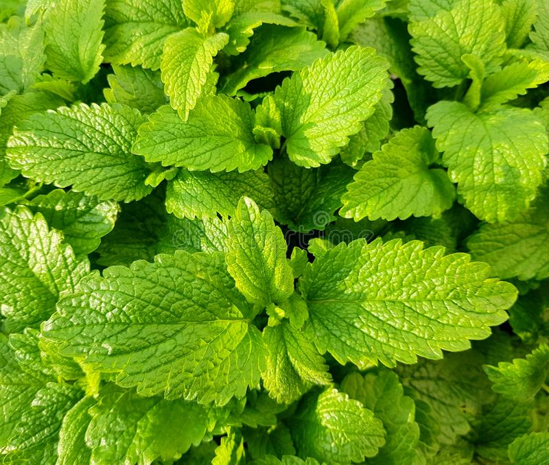 Fresh green mint leaves. Background with mint leaves. Green mint plants. Background with fresh green mint leaves royalty free stock photography
