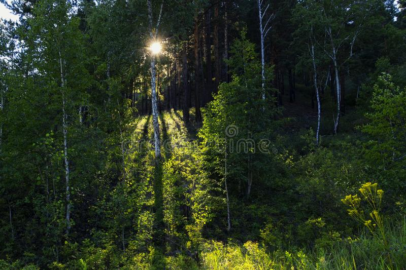Green mixed deciduous forest in summer with sun rays. stock photo