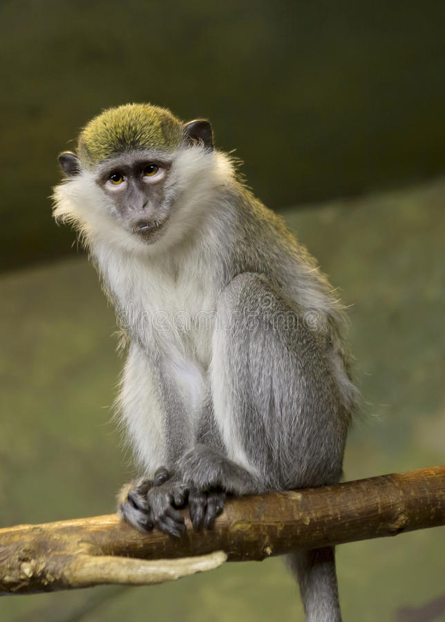 Free Green Monkey Stock Image - 81259411