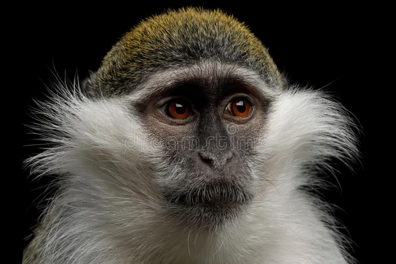 Green monkey on Black Background royalty free stock photos