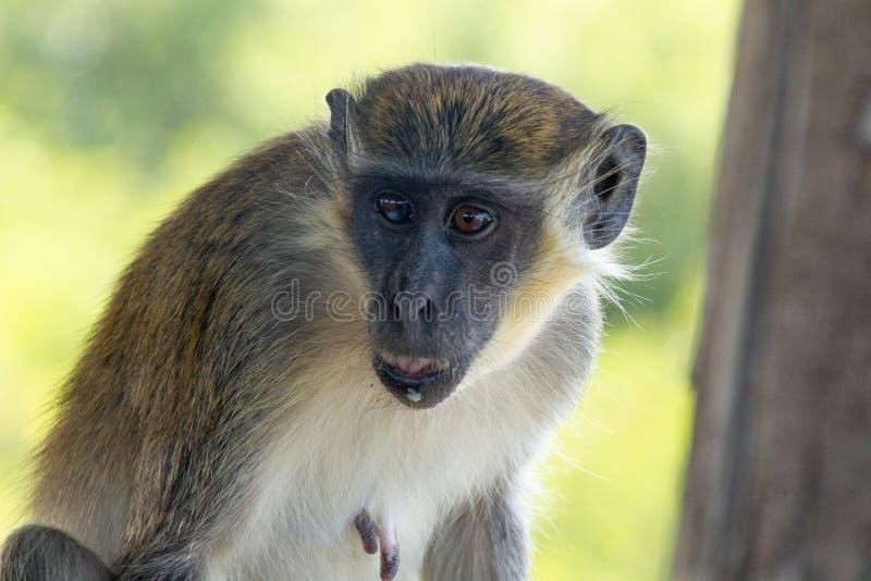 Green monkey portrait royalty free stock photography