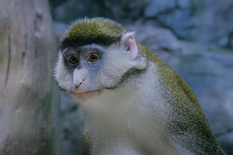 Green monkey looking at camera. Portrait of green monkey looking at camera - close up view. Exotic animal, primate and wildlife concept royalty free stock photo