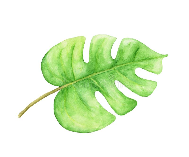 Green monstera leaf. Tropical plant. Hand painted watercolor illustration. stock illustration