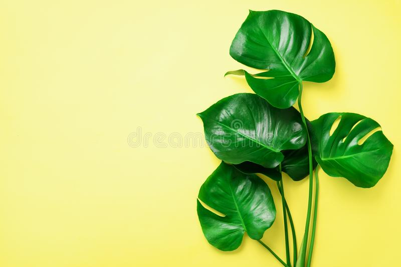 Green monstera leaves on yellow background with copy space. Top view. Minimal design. Exotic plant. Creative summer flat stock image