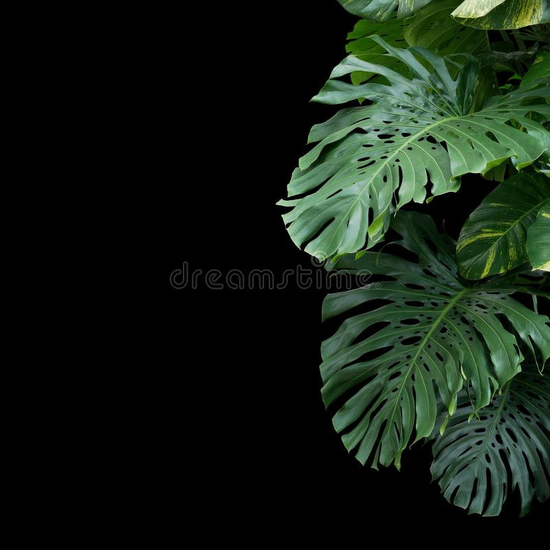 Green monstera philodendron tropical plant leaves vine on black background with copy space stock images