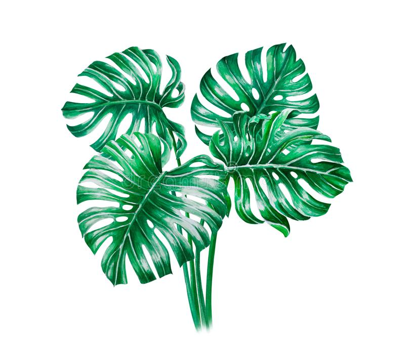 Green monstera tropical leaves watercolor illustration, isolated on white background vector illustration