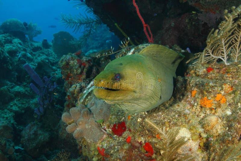 Green Moray on a Coral Reef - Roatan stock photos