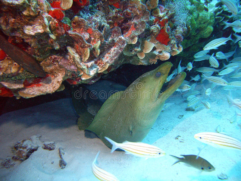 Download Green moray eel stock image. Image of green, coral, cozumel - 11833193