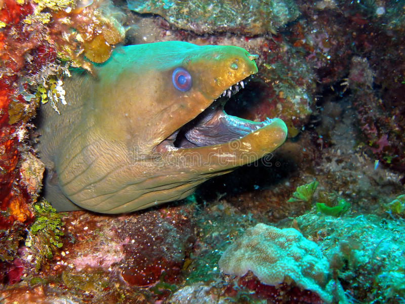 Green Moray Eel. A fierce-looking Green Moray Eel eyes us from the coral reef. These creatures are shy by nature and not seen that often, being mostly nocturnal royalty free stock photo