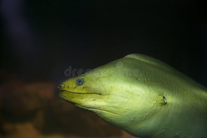 Green moray eel royalty free stock photos