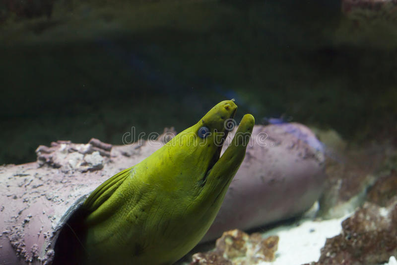 Green Moray Eel royalty free stock images