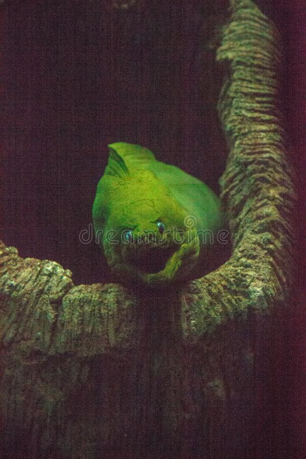 Green moray eel Gymnothorax funebris stock photography