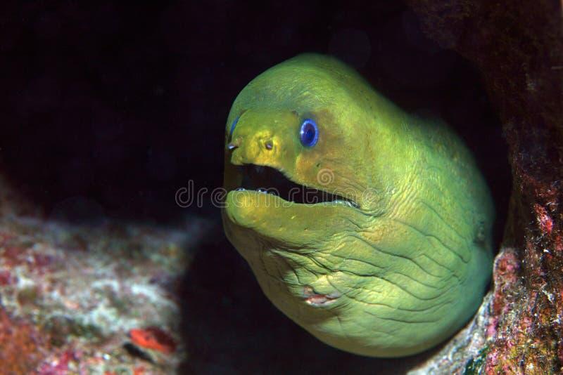 Green moray eel stock photos