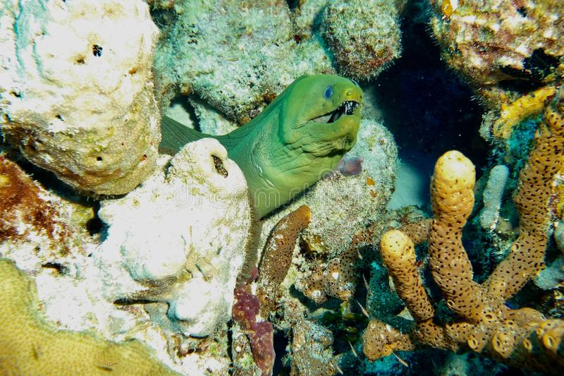 Green Moray Eel. This photo of Green Moray Eel was taken while Scuba Diving Salt City Dive Site in Bonaire royalty free stock image