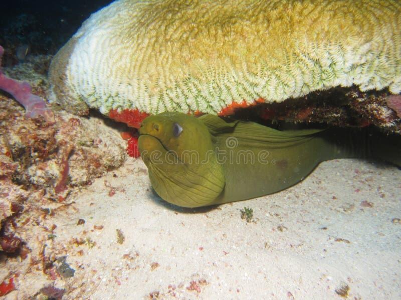 Moray eel royalty free stock photography