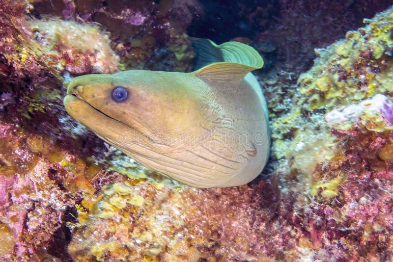 Green moray, Gymnothorax funebris stock image
