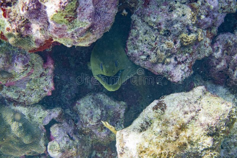 Green moray opens its mouth to breath royalty free stock photos