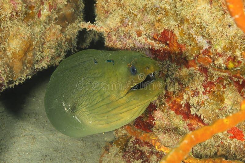 Green Moray (Gymnothorax funebris) - Roatan royalty free stock images