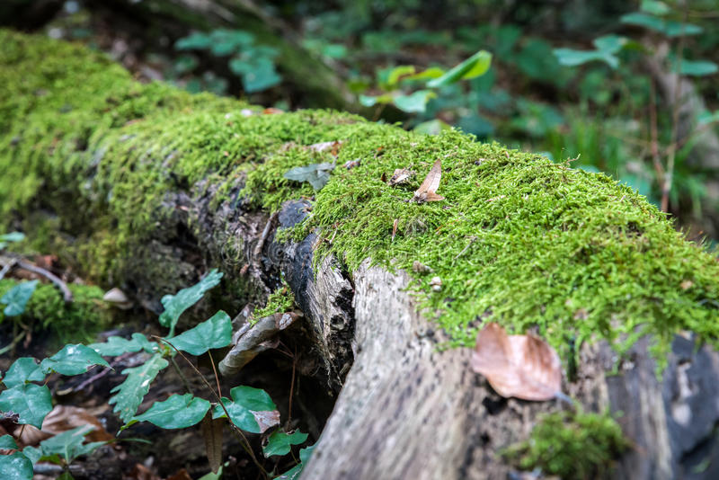 Green mos growing on a big tree trunk. Blurry forest background. Autumn leaves on the ground. Low-angle close-up shot. royalty free stock photo