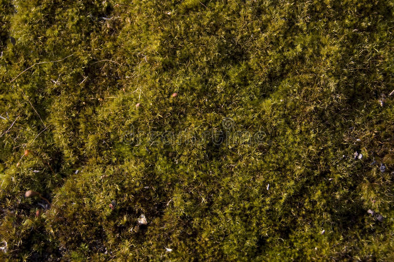 Green moss royalty free stock image