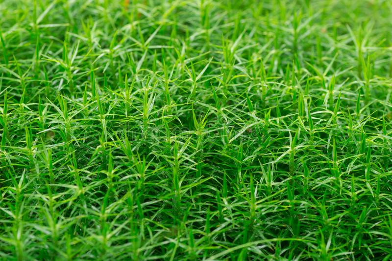 Green moss background closeup selective focus royalty free stock photos